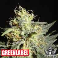 Green Label Seeds Automatic Mary